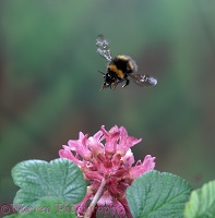 Meadow Bumblebee and flowering currant