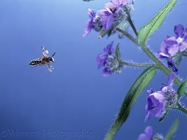 Solitary bee flying to flower