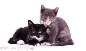 Kitten licking another's ear