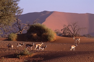 Springboks on sand dunes