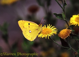 Clouded Yellow on fleabane