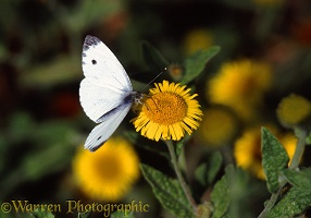 Green-veined White on fleabane
