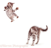 Kittens leaping and playing