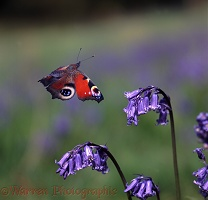 Peacock Butterfly and bluebell flowers
