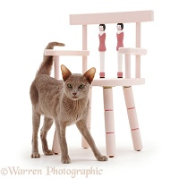 Oriental Lilac cat and chair
