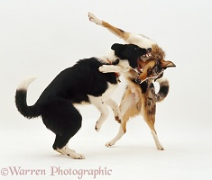 Border Collies play-fighting