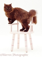 Chocolate cat on a child's chair