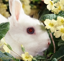 Blue-eyed Netherland Dwarf Rabbit doe