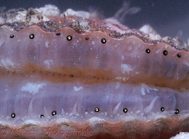 Queen Scallop showing eyes