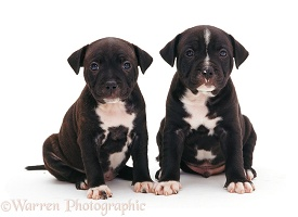 Staffordshire Bull Terrier puppies