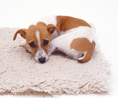 Jack Russell curled up