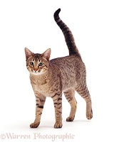 Brown spotted cat