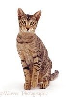 Oriental Tabby female cat