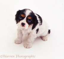 Cavalier King Charles puppy
