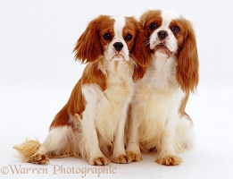 Cavalier King Charles Spaniel mother and puppy