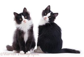 Black-and-white kittens