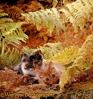 Kittens playing in bracken