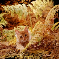Ginger kitten playing in autumnal bracken