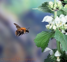 Carder Bee and deadnettle