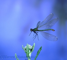 Beautiful Demoiselle Damselfly in flight