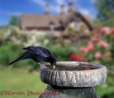 Blackbird drinking