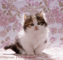 Tortoiseshell-and-white kitten