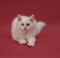 White Persian cat on red background