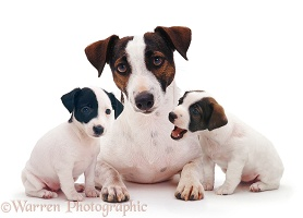 Jack Russell Terrier bitch with two pups