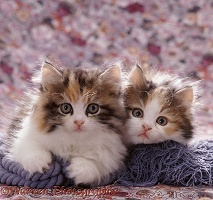 Persian cross kitten pair