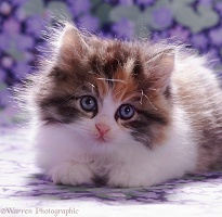 Tortoiseshell-and-white fluffy kitten