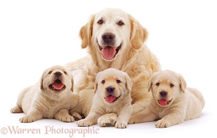 Retriever mother and puppies