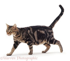 Pregnant tabby cat walking