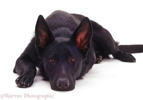 Black Alsatian with his chin on the floor