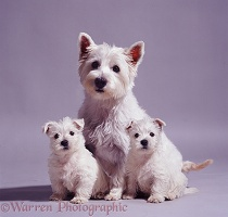 Westie mother and pups