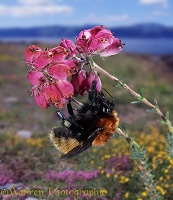 Northern Moss carder bee