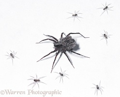 Meadow Spider with babies
