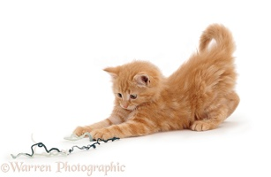 Ginger kitten with wool