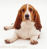 Basset Hound lying down