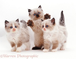 Three playful Birman-cross kittens