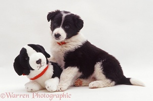 Border Collie pup with a toy