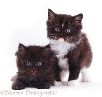 Chocolate and white fluffy kittens