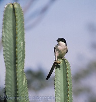 Fiscal Shrike with cricket