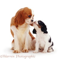 Cavalier King Charles Spaniel bitch and pup