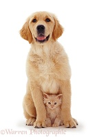 Golden Retriever pup and kitten