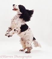 Cocker Spaniel dancing