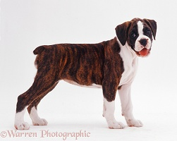 Brindle-and-white Boxer pup