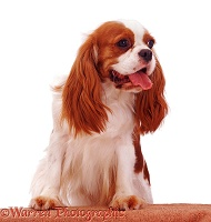 Cavalier King Charles Spaniel bitch