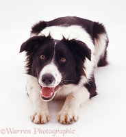 Border Collie bitch