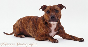 Staffordshire Bull Terrier bitch