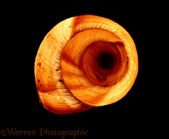 Roman Snail shell by transmitted light